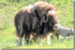 12 Musk Ox, Alaska Wildlife Conservation Center