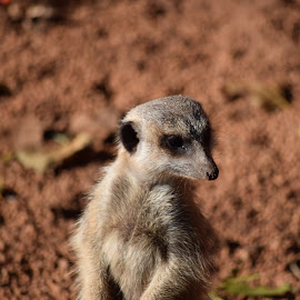 meerkat by Michael Comley - Animals Other Mammals