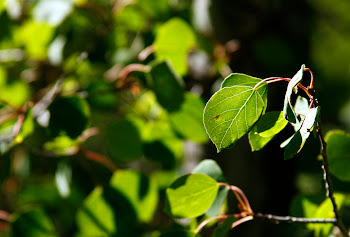 leaves in morning light