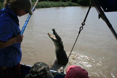 Saltwater Crocodile Jumping