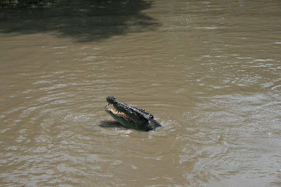 Saltwater Estuarine Crocodile