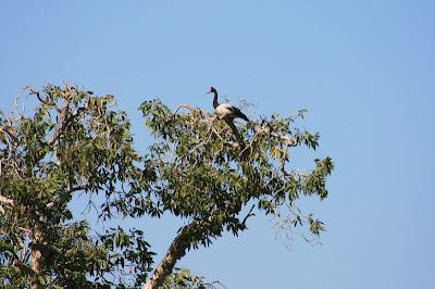 Magpie Goose Lakefield National Park Cape York Australia