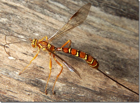 Megarhyssa macrurus female