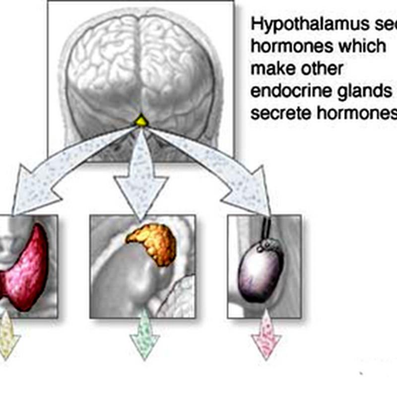 03. Hypophysiotropic hormones ( Hypothalamic Hormones )Hypothalamus & Pituitary II