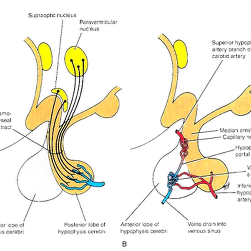 The hypothalamus II