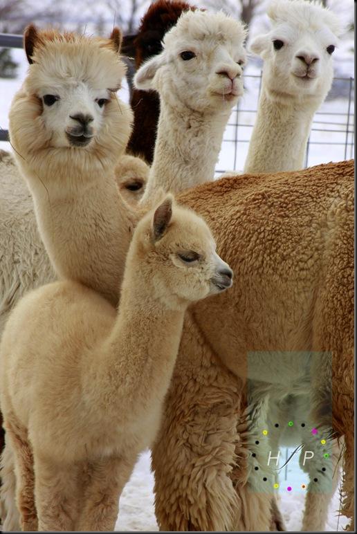 alpacas 1-1-09 160 wm
