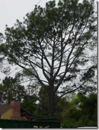 Pinus_torreyana