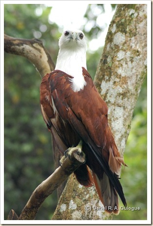Brahmin Kite, Phil. Eagle Sanctuary