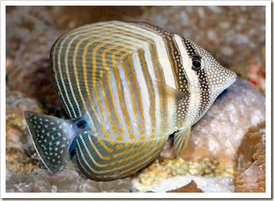 Sailfin Tang
