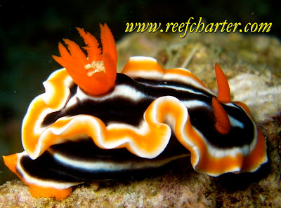 The colourful nudibranch