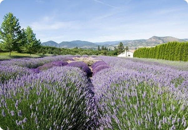 lavender farm, british columbia