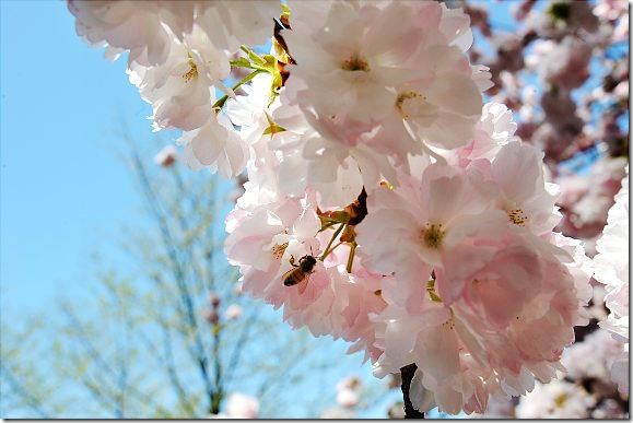 gal_cherry_blossoms_04