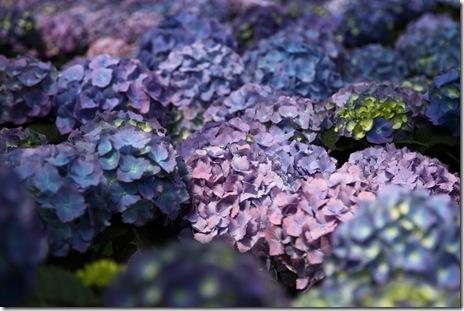 purple-hydrangea-blue