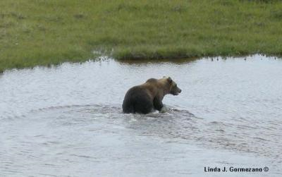 This is a grizzly Bear (Ursus arctos), photographed in Wapusk National Park, Manitoba, Canada, on August 9, 2008. (Credit: Linda Gormezano)