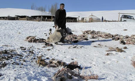 A 76-year-old herdsman removes carcasses of goats who died from cold weather, in Arkhangai province 23 January this year. Photograph: HO / Reuters