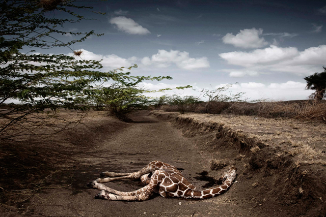 Stefano De Luigi, a VII Network for Le Monde Magazine photographer based in Italy, won the second prize in the Contemporary Issues Singles category of the World Press Photo Contest 2010 for this photograph of a giraffe killed by drought in northeast Kenya. (REUTERS / Stefano De Luigi/VII Network / Le Monde Magazine)