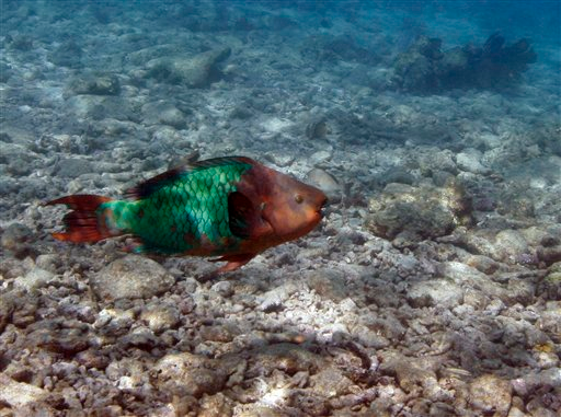 In this Aug. 16, 2008 photo, a parrotfish is shown swimming over a dead coral reef in the Florida Keys National Marine Sanctuary near Key West, Fla. Numerous studies predict corals are headed toward extinction worldwide, some 50 percent of the Caribbean's corals are already dead, largely because of climate change, overfishing and pollution. (AP Photo / Wilfredo Lee)