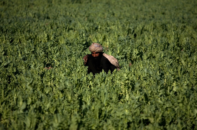 In this photo taken on Friday, March 19, 2010, a farmer works in a poppy field in Marjah, Afghanistan. When U.S., Afghan and NATO forces stormed Marjah in February, they were instructed to seize large opium stashes but leave farmers' poppy fields alone. (AP Photo / Dusan Vranic)