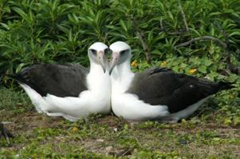A female-female pair of Laysan Albatross. Females cooperatively build nests and rear young when males are scarce. (Credit: Eric VanderWerf)