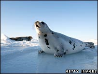 The market price for a seal pelt has plummeted in recent years