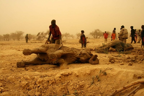 A rare herd of desert elephants in Mali ravaged by one of the worst droughts in living memory, which has left water sources at lowest level in the past quarter of a century. 350 to 450 elephants of Gourma, the northernmost herds still alive in Africa, were forced to trek extreme distances across the fringes of the Sahara to find scarce water. Juveniles' trunks are not long enough to reach deep into wells. Lake Banzena is the lowest it has been since 1983 when it dried completely. Photo by Jake Wall