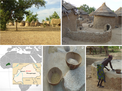 Life in a rural village of Burkina Faso. (A) Village of Boulpon. (B) Traditional Mossi dwelling. (C) Map of Burkina Faso (modified from the United States ClA's World Factbook, 34). (D) Millet and sorghum (basic components of Mossi diet) grain and flour in typical bowls. (E) Millet and sorghum is ground into flour on a grinding stone to produce a thick porridge called Tô. De Filippo et al. 2010