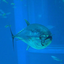 JUST TOO TASTY: Bluefin tuna populations are dropping fast because of overfishing. OpenCage