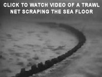 Click to watch video of a trawl net scraping the sea floor. An area twice the size of the contiguous United States is trawled each year. savecorals.com
