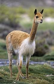 Vicuña (Vicugna vicugna). In South America, protected areas and a combination of the Convention on International Trade in Endangered Species (CITES) and the Vicuña Convention helped spark the recovery of the Vicuña Vicugna vicugna. Photo: Chris Gomersall