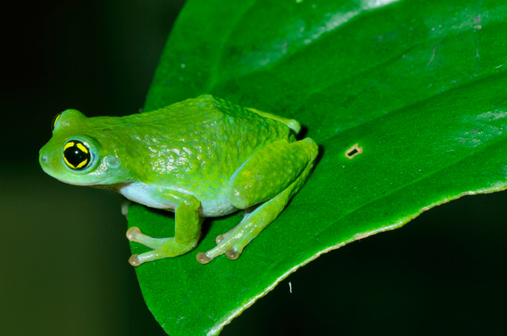 The Chalazodes Bubble-nest Frog (Raorchestes chalazodes) was last seen in 1874. Rediscovered after 136 years, this striking fluorescent green frog with ash-blue thighs and black pupils with golden patches (highly unusual traits among amphibians) frog leads a secretive life, presumably inside reeds during the day. Rediscovered by Ganesan R, Seshadri KS and SD Biju. Listed by the IUCN as Critically Endangered. Photo: © SD Biju