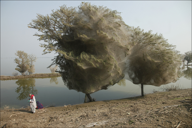 Trees cocooned in spiders webs, an unexpected side effect of the flooding in Sindh, Pakistan, 7 December 2010. By Russell Watkins / DFID - UK Department for International Development