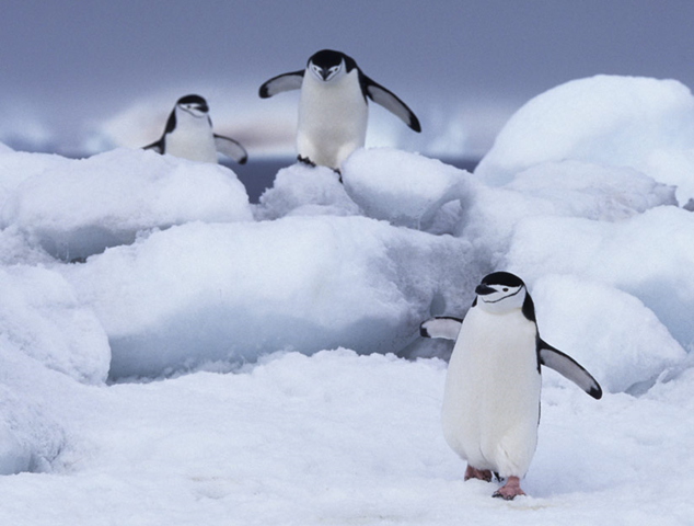 Chinstrap penguins walking on Antarctic ice. Numbers of chinstrap and Adelie penguins are in steep decline. Getty Images