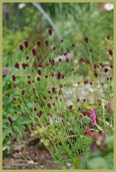 Sanguisorba officinalis red thunder le blog de mona for Sanguisorba officinalis red thunder