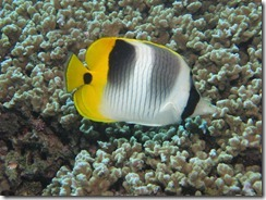 Pacific False Eye Butterfly Fish 1