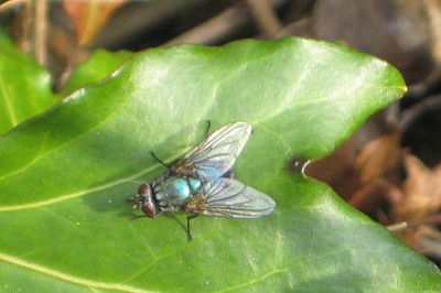 Common Green Bottle - Phaenicia sericata