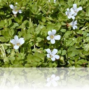 plantas-medicinales-antioxidantes-bacopa-enana