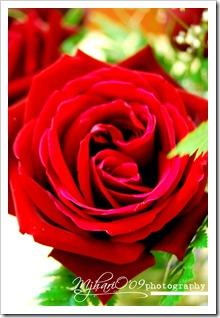 vdayrose