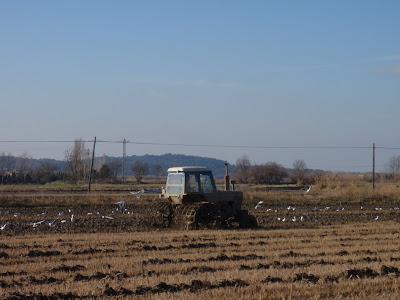 Tractor en un camp d'arròs amb ocells que aprofiten per menjar cucs