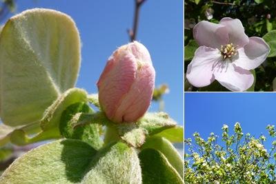 Ver flor marmeleiro