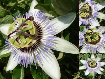 Ver flor estranha 2
