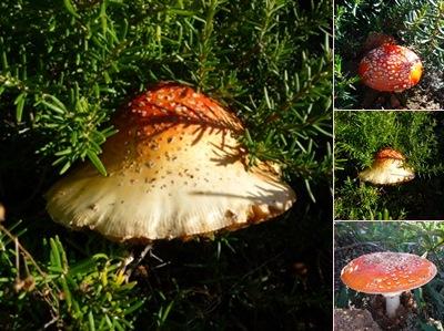 Ver cogumelos e alecrim