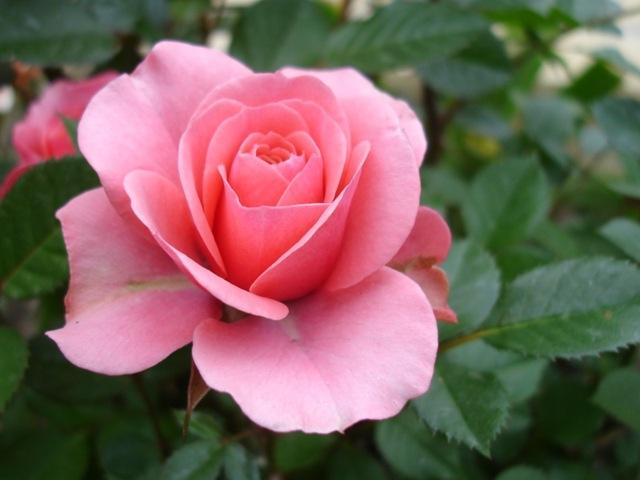 [rose[4].jpg]