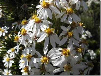 IMG_3050 Oleria pinifolia