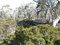 IMG_3073 Snow gum woodland on saddle .JPG Photo