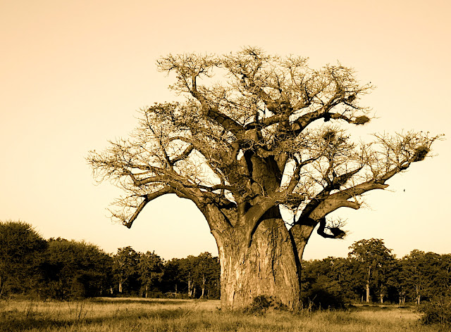 Singita Pamushana Lodge and the Baobab.