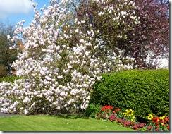 magnolia e