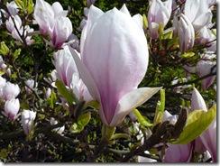 magnolia d