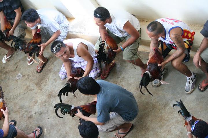 Петушиные бой на Филиппинах