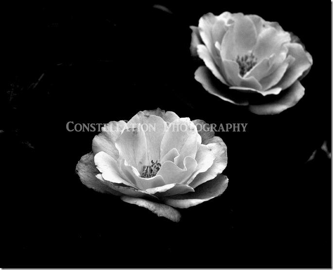 roses8x10 copy