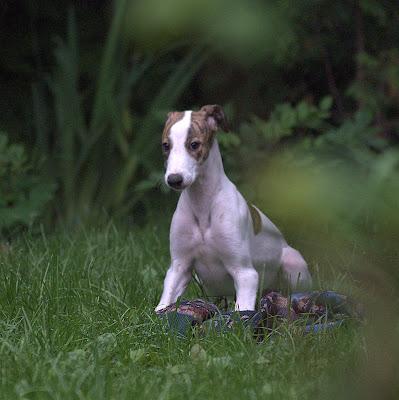 щенок грейхаунда продается